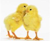 chickadee-secret